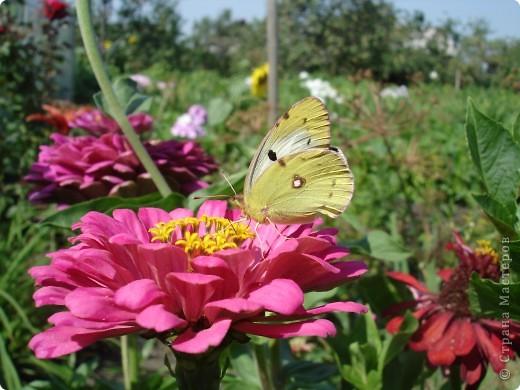 В этом году сидя в декретном отпуске, я решила найти себе хобби, которое приносило бы мне удовольствие. И эта моя коллекция бабочек. Всех бабочек которых поймал мой объектив я сфотографирывала в поселке на территории города. СОВЕТ: кто хочет у себя видеть не сметное количество бабочек, садите цветы Цинии. Дневной павлиний глаз их просто обожает. И другие бабочки прилетают. фото 12