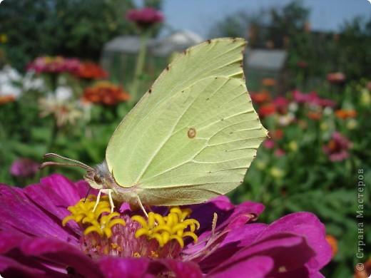 В этом году сидя в декретном отпуске, я решила найти себе хобби, которое приносило бы мне удовольствие. И эта моя коллекция бабочек. Всех бабочек которых поймал мой объектив я сфотографирывала в поселке на территории города. СОВЕТ: кто хочет у себя видеть не сметное количество бабочек, садите цветы Цинии. Дневной павлиний глаз их просто обожает. И другие бабочки прилетают. фото 10