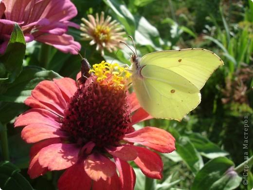 В этом году сидя в декретном отпуске, я решила найти себе хобби, которое приносило бы мне удовольствие. И эта моя коллекция бабочек. Всех бабочек которых поймал мой объектив я сфотографирывала в поселке на территории города. СОВЕТ: кто хочет у себя видеть не сметное количество бабочек, садите цветы Цинии. Дневной павлиний глаз их просто обожает. И другие бабочки прилетают. фото 8