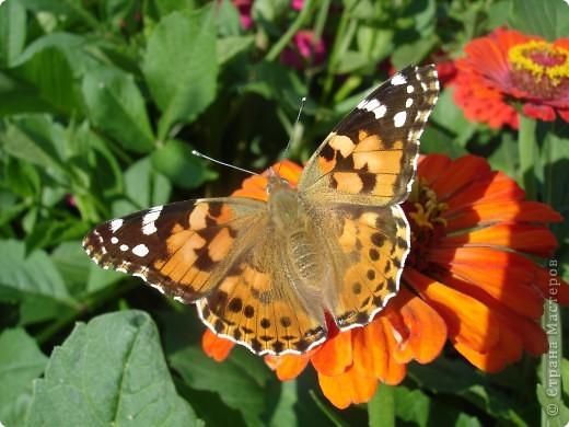 В этом году сидя в декретном отпуске, я решила найти себе хобби, которое приносило бы мне удовольствие. И эта моя коллекция бабочек. Всех бабочек которых поймал мой объектив я сфотографирывала в поселке на территории города. СОВЕТ: кто хочет у себя видеть не сметное количество бабочек, садите цветы Цинии. Дневной павлиний глаз их просто обожает. И другие бабочки прилетают. фото 1