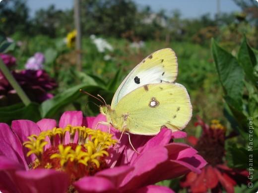 В этом году сидя в декретном отпуске, я решила найти себе хобби, которое приносило бы мне удовольствие. И эта моя коллекция бабочек. Всех бабочек которых поймал мой объектив я сфотографирывала в поселке на территории города. СОВЕТ: кто хочет у себя видеть не сметное количество бабочек, садите цветы Цинии. Дневной павлиний глаз их просто обожает. И другие бабочки прилетают. фото 11