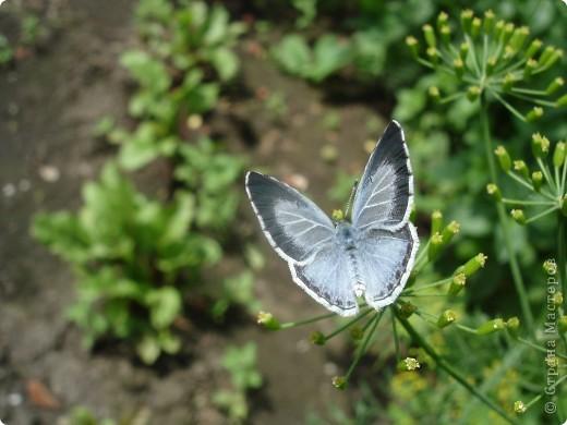 Бабочки представленные в этом репортаже сняты в первую половину лета. Эта бабочка - Углокрыльница с-белое. Название ее из за того что у нее на крыльях много вырезов в форме буквы С. Замеченные за ней повадки. Часто садится на капусту, и греет крылышки фото 6