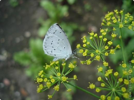 Бабочки представленные в этом репортаже сняты в первую половину лета. Эта бабочка - Углокрыльница с-белое. Название ее из за того что у нее на крыльях много вырезов в форме буквы С. Замеченные за ней повадки. Часто садится на капусту, и греет крылышки фото 7