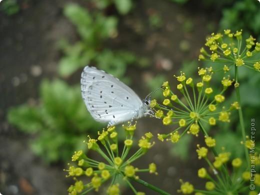 Бабочки представленные в этом репортаже сняты в первую половину лета. Эта бабочка - Углокрыльница с-белое. Название ее из за того что у нее на крыльях много вырезов в форме буквы С. Замеченные за ней повадки. Часто садится на капусту, и греет крылышки фото 8
