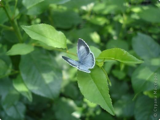 Бабочки представленные в этом репортаже сняты в первую половину лета. Эта бабочка - Углокрыльница с-белое. Название ее из за того что у нее на крыльях много вырезов в форме буквы С. Замеченные за ней повадки. Часто садится на капусту, и греет крылышки фото 10