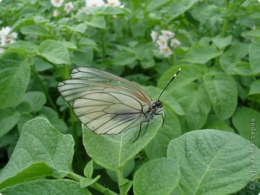 Бабочки представленные в этом репортаже сняты в первую половину лета. Эта бабочка - Углокрыльница с-белое. Название ее из за того что у нее на крыльях много вырезов в форме буквы С. Замеченные за ней повадки. Часто садится на капусту, и греет крылышки фото 11