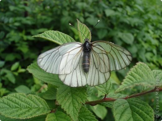 Бабочки представленные в этом репортаже сняты в первую половину лета. Эта бабочка - Углокрыльница с-белое. Название ее из за того что у нее на крыльях много вырезов в форме буквы С. Замеченные за ней повадки. Часто садится на капусту, и греет крылышки фото 12