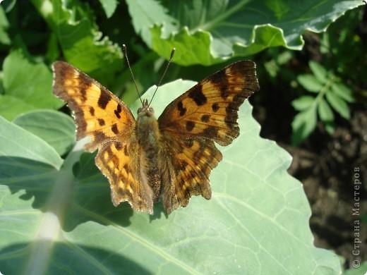 Бабочки представленные в этом репортаже сняты в первую половину лета. Эта бабочка - Углокрыльница с-белое. Название ее из за того что у нее на крыльях много вырезов в форме буквы С. Замеченные за ней повадки. Часто садится на капусту, и греет крылышки фото 1