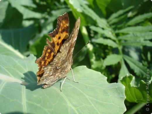 Бабочки представленные в этом репортаже сняты в первую половину лета. Эта бабочка - Углокрыльница с-белое. Название ее из за того что у нее на крыльях много вырезов в форме буквы С. Замеченные за ней повадки. Часто садится на капусту, и греет крылышки фото 3