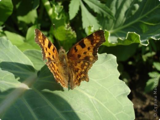 Бабочки представленные в этом репортаже сняты в первую половину лета. Эта бабочка - Углокрыльница с-белое. Название ее из за того что у нее на крыльях много вырезов в форме буквы С. Замеченные за ней повадки. Часто садится на капусту, и греет крылышки фото 5