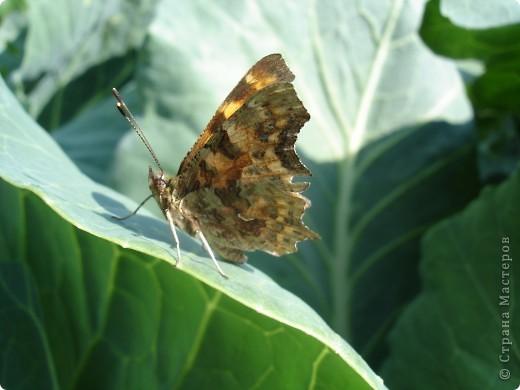 Бабочки представленные в этом репортаже сняты в первую половину лета. Эта бабочка - Углокрыльница с-белое. Название ее из за того что у нее на крыльях много вырезов в форме буквы С. Замеченные за ней повадки. Часто садится на капусту, и греет крылышки фото 2