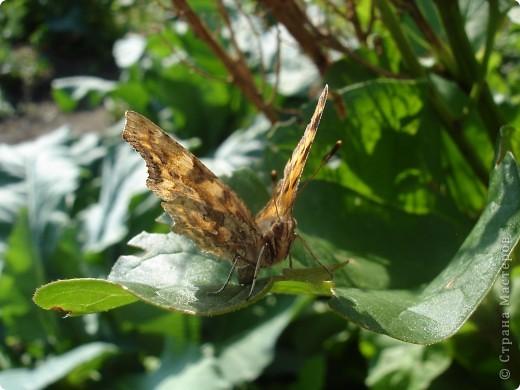 Бабочки представленные в этом репортаже сняты в первую половину лета. Эта бабочка - Углокрыльница с-белое. Название ее из за того что у нее на крыльях много вырезов в форме буквы С. Замеченные за ней повадки. Часто садится на капусту, и греет крылышки фото 4