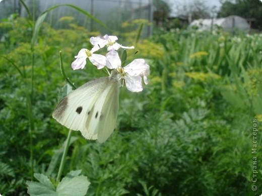 Бабочки представленные в этом репортаже сняты в первую половину лета. Эта бабочка - Углокрыльница с-белое. Название ее из за того что у нее на крыльях много вырезов в форме буквы С. Замеченные за ней повадки. Часто садится на капусту, и греет крылышки фото 16