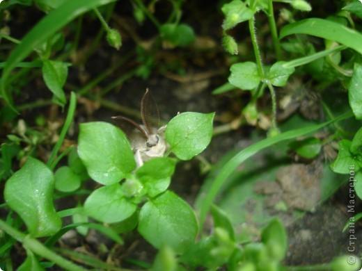 Бабочки представленные в этом репортаже сняты в первую половину лета. Эта бабочка - Углокрыльница с-белое. Название ее из за того что у нее на крыльях много вырезов в форме буквы С. Замеченные за ней повадки. Часто садится на капусту, и греет крылышки фото 19