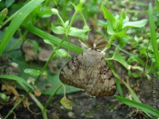 Бабочки представленные в этом репортаже сняты в первую половину лета. Эта бабочка - Углокрыльница с-белое. Название ее из за того что у нее на крыльях много вырезов в форме буквы С. Замеченные за ней повадки. Часто садится на капусту, и греет крылышки фото 18