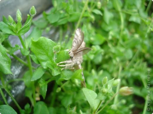 Бабочки представленные в этом репортаже сняты в первую половину лета. Эта бабочка - Углокрыльница с-белое. Название ее из за того что у нее на крыльях много вырезов в форме буквы С. Замеченные за ней повадки. Часто садится на капусту, и греет крылышки фото 21