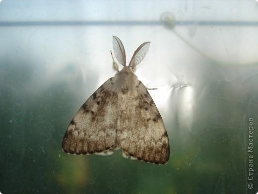 Бабочки представленные в этом репортаже сняты в первую половину лета. Эта бабочка - Углокрыльница с-белое. Название ее из за того что у нее на крыльях много вырезов в форме буквы С. Замеченные за ней повадки. Часто садится на капусту, и греет крылышки фото 22