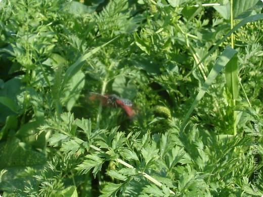 Бабочки представленные в этом репортаже сняты в первую половину лета. Эта бабочка - Углокрыльница с-белое. Название ее из за того что у нее на крыльях много вырезов в форме буквы С. Замеченные за ней повадки. Часто садится на капусту, и греет крылышки фото 15