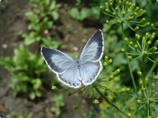 Бабочки представленные в этом репортаже сняты в первую половину лета. Эта бабочка - Углокрыльница с-белое. Название ее из за того что у нее на крыльях много вырезов в форме буквы С. Замеченные за ней повадки. Часто садится на капусту, и греет крылышки фото 9