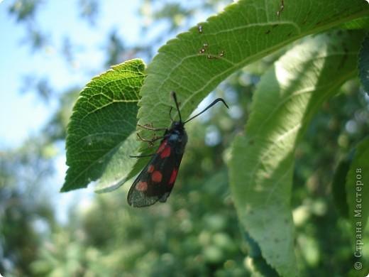 Бабочки представленные в этом репортаже сняты в первую половину лета. Эта бабочка - Углокрыльница с-белое. Название ее из за того что у нее на крыльях много вырезов в форме буквы С. Замеченные за ней повадки. Часто садится на капусту, и греет крылышки фото 13
