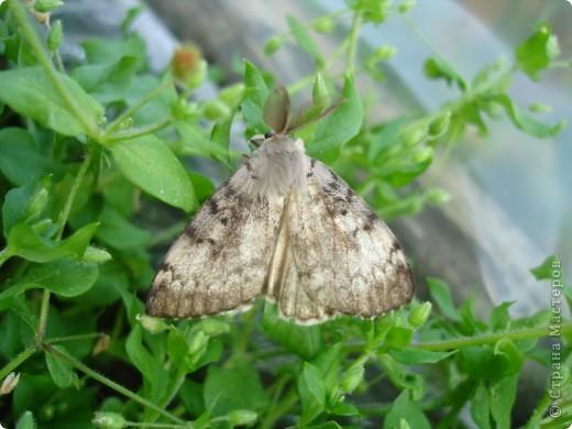 Бабочки представленные в этом репортаже сняты в первую половину лета. Эта бабочка - Углокрыльница с-белое. Название ее из за того что у нее на крыльях много вырезов в форме буквы С. Замеченные за ней повадки. Часто садится на капусту, и греет крылышки фото 20