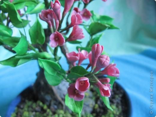Бонсай цветущая сирень фото 3