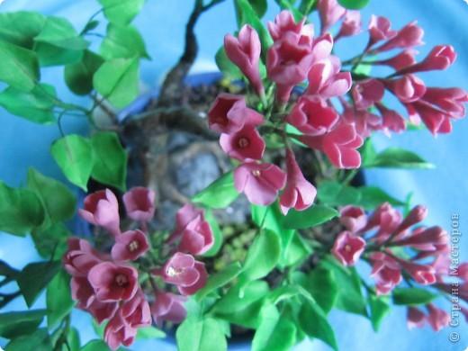 Бонсай цветущая сирень фото 5