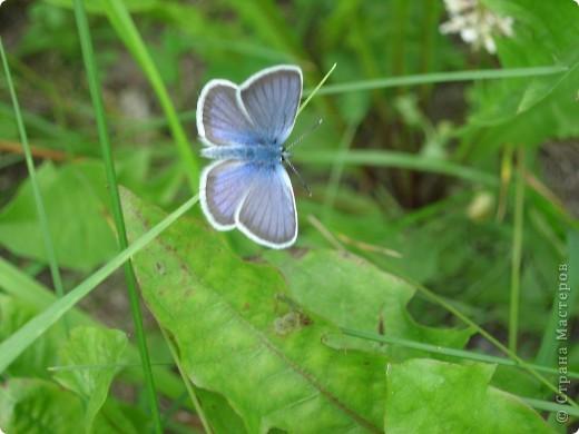 бабочка голубянка  фото 2