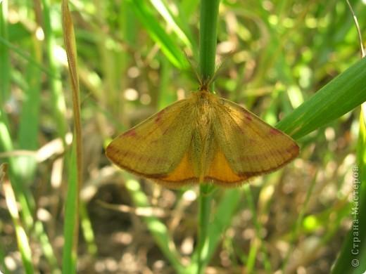 бабочка голубянка  фото 9