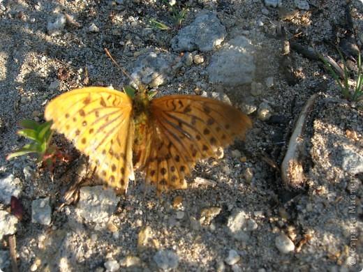 бабочка голубянка  фото 10