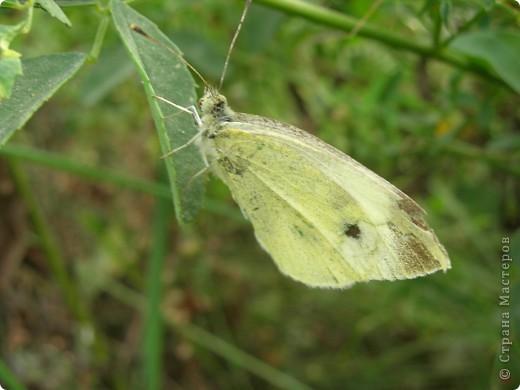 бабочка голубянка  фото 14