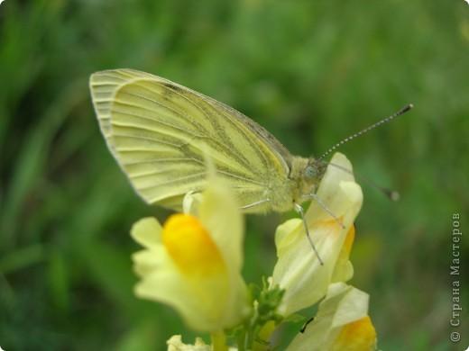 бабочка голубянка  фото 13