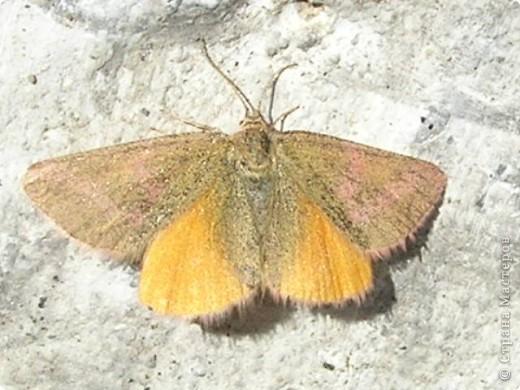 бабочка голубянка  фото 8