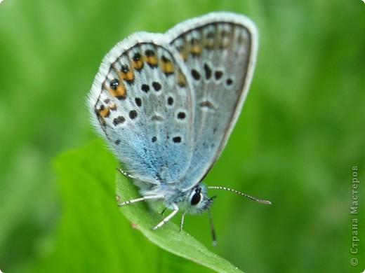 бабочка голубянка  фото 1