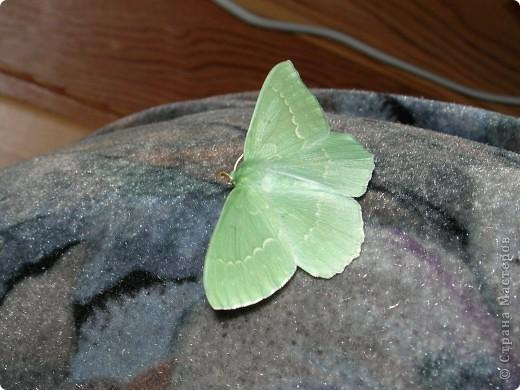 бабочка голубянка  фото 7