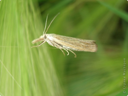 бабочка голубянка  фото 4