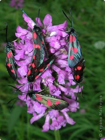 бабочка голубянка  фото 16