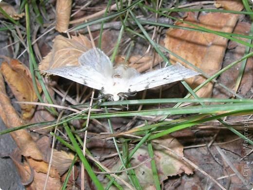 бабочка голубянка  фото 5