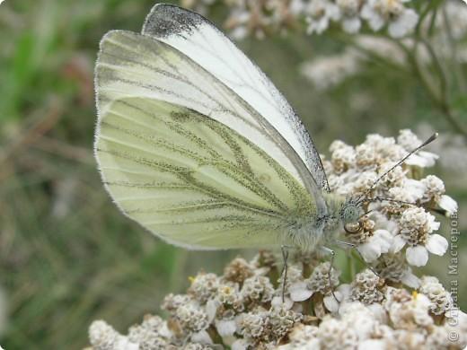 бабочка голубянка  фото 11