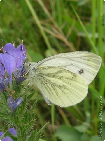 бабочка голубянка  фото 12
