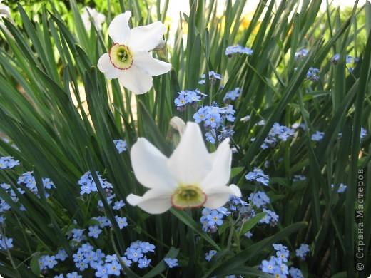 Это - повторно цветущий ирис. Порадовал меня цветением первый раз. фото 7