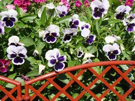 Люблю цветы. Часть 2. Виола. фото 1
