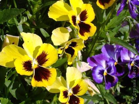 Люблю цветы. Часть 2. Виола. фото 17