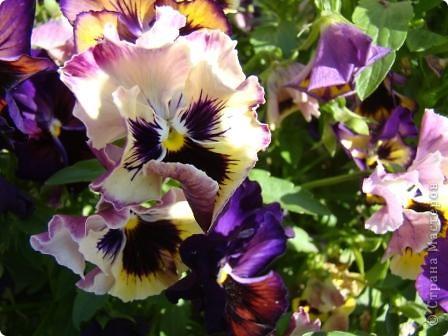 Люблю цветы. Часть 2. Виола. фото 20