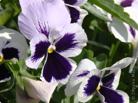 Люблю цветы. Часть 2. Виола. фото 6