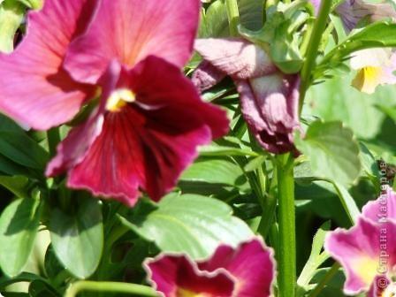 Люблю цветы. Часть 2. Виола. фото 9