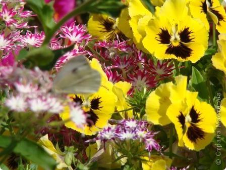 Люблю цветы. Часть 2. Виола. фото 18