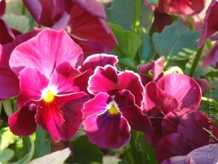 Люблю цветы. Часть 2. Виола. фото 11