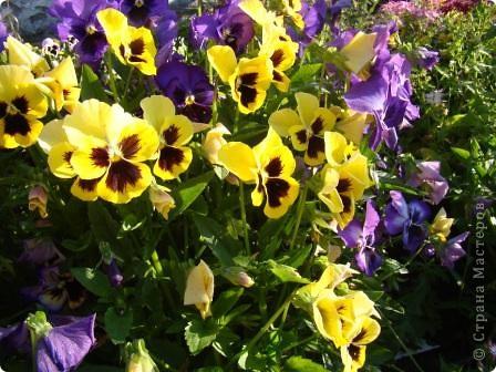 Люблю цветы. Часть 2. Виола. фото 19