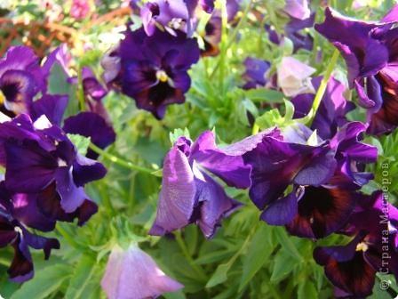 Люблю цветы. Часть 2. Виола. фото 15